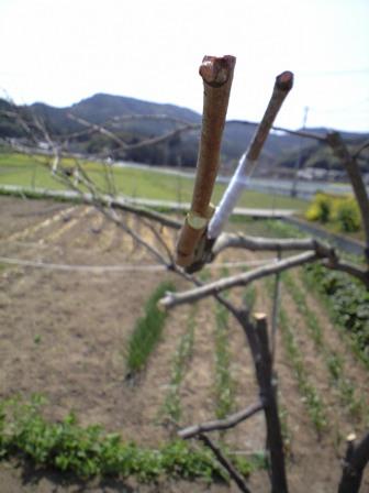 2010-3-22-柿剪定5