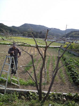 2010-3-22-柿剪定3