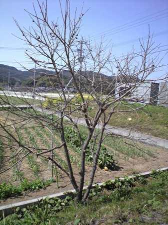 2010-3-22-柿剪定1