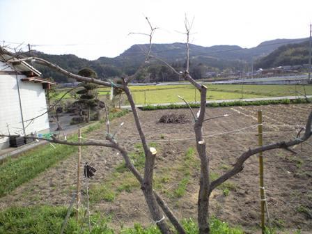 2010-3-22-柿剪定08
