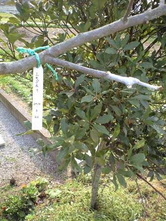 2010-3-22-柿剪定07