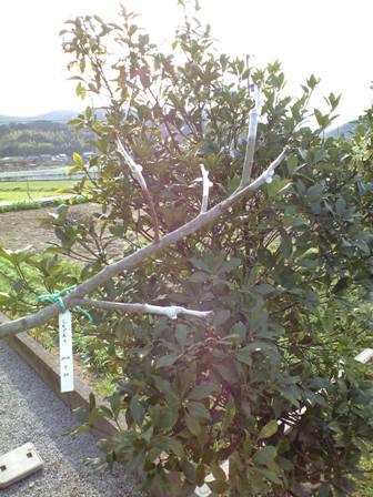 2010-3-22-柿剪定06