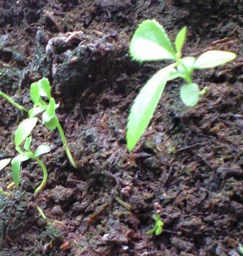 2010-05-23-シャシャンボの実生1