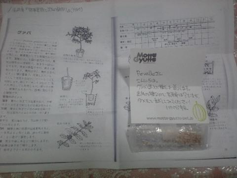 2010-6-8-グァバ(赤実)種2