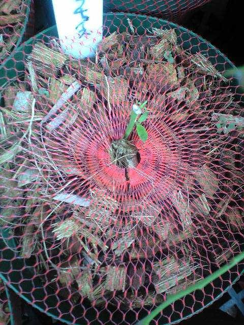 2010-06-17-キャラチョイスの新芽