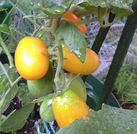 2010-8-04-トマト2