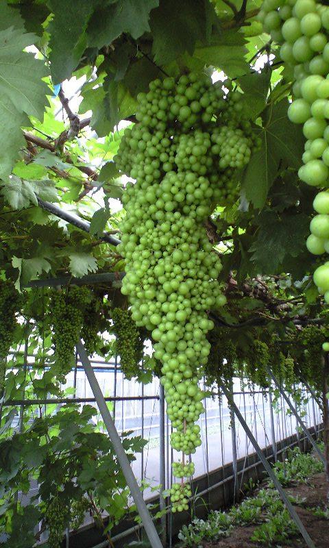 2010-08-農業公園-ネヘレスコール2
