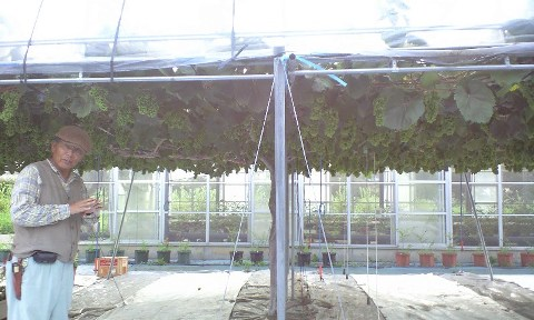 2010-08-農業公園-メンデルのブドウ