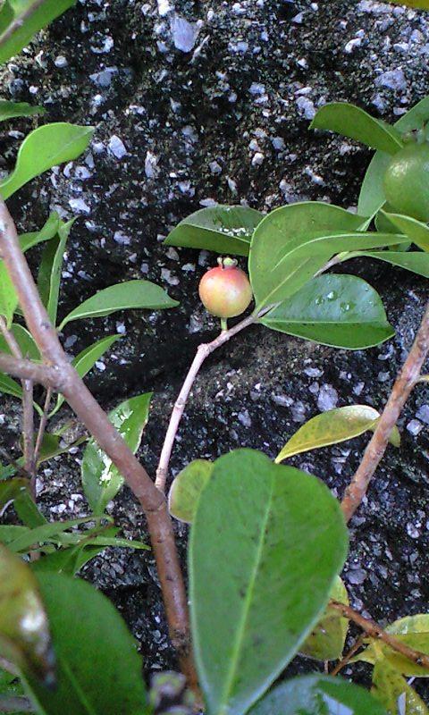 2010-09-20-グァバ(赤)2