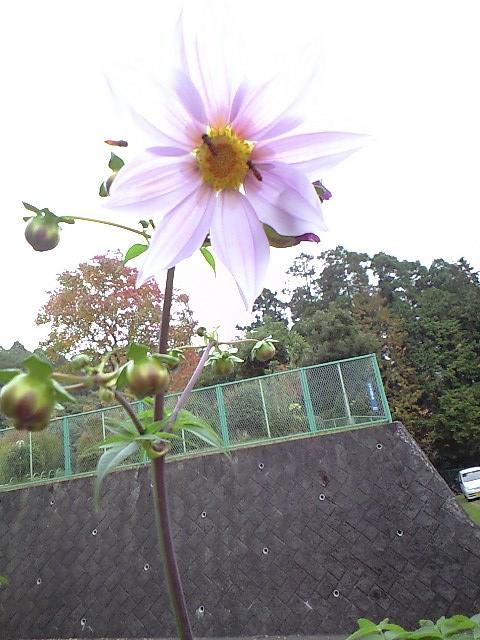 2010-11-14-皇帝ダリア