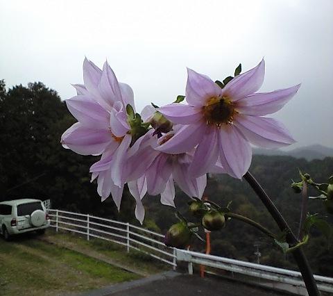 2010-11-14-皇帝ダリア(2)