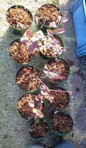 2011-1-23-ブルーベリー植え替え4