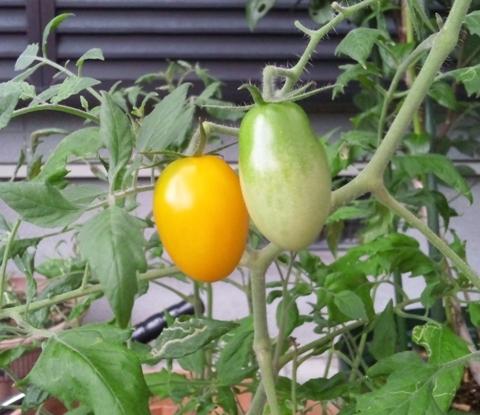 2011-7-28-トマト1