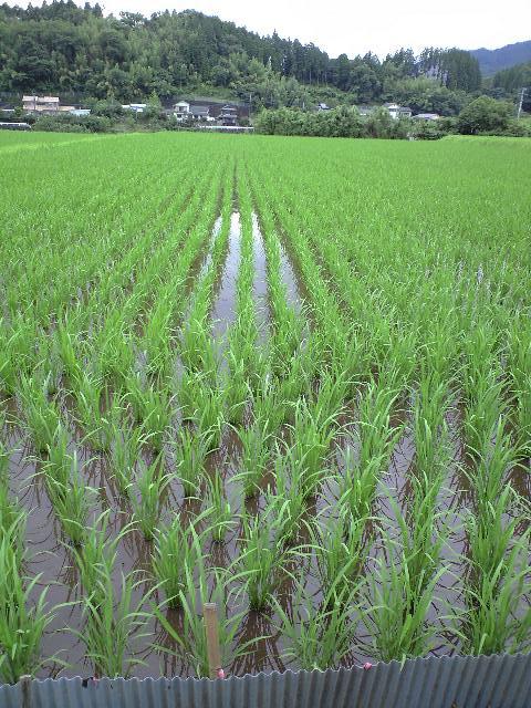 2010-7月田んぼの様子