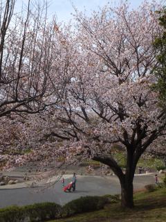 20120415sakura01.jpg