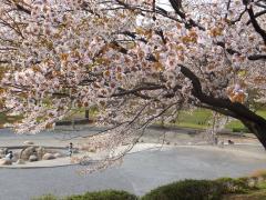 20120415sakura02.jpg