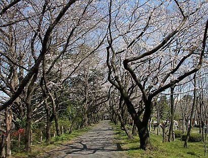 駿府公園桜30日-2