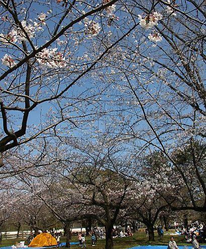 駿府公園桜30日-3