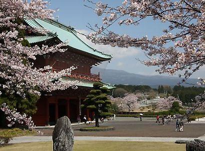大石寺の桜-1