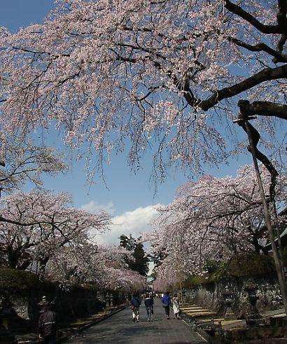 大石寺の桜-2