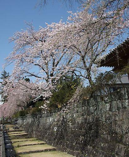 大石寺の桜-3