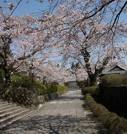 大石寺の桜-4