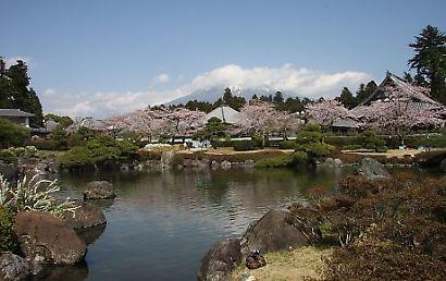 大石寺の桜-6