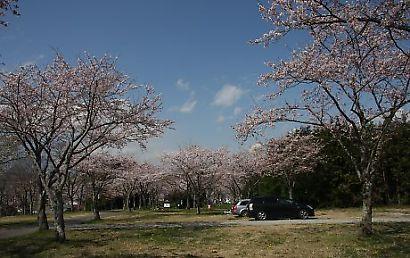 大石寺の桜-8