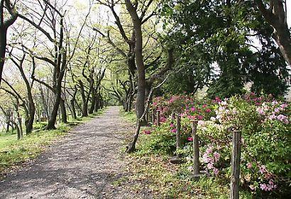 駿府公園ツツジ-3