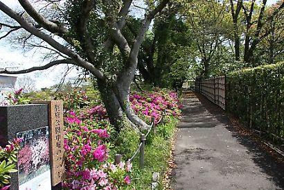 駿府公園ツツジ-5