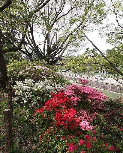 駿府公園ツツジ-4