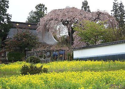 信州で桜を撮る-1