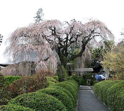 信州で桜を撮る-2