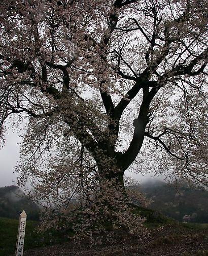 信州で桜を撮る-4