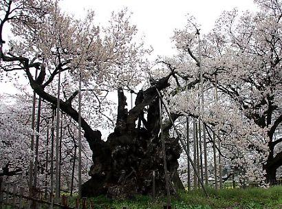 信州で桜を撮る-5
