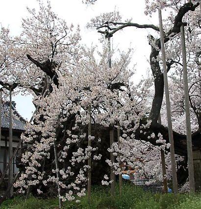 信州で桜を撮る-6