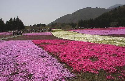 富士芝桜-3
