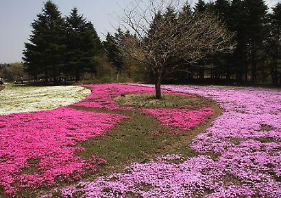 富士芝桜-4
