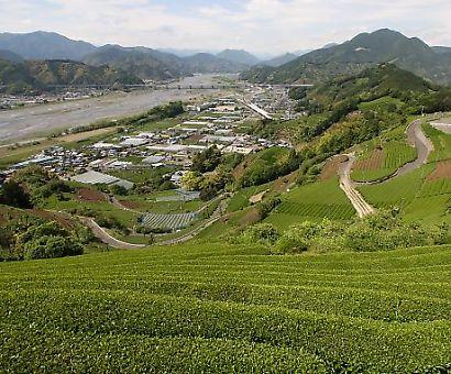 茶畑の風景-1