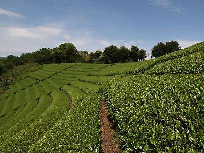 茶畑の風景-2