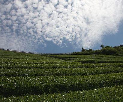 茶畑の風景-3
