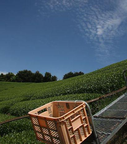 茶畑の風景-5