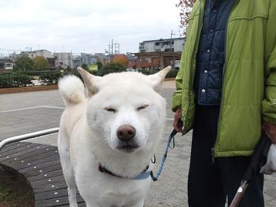 武蔵(白柴)