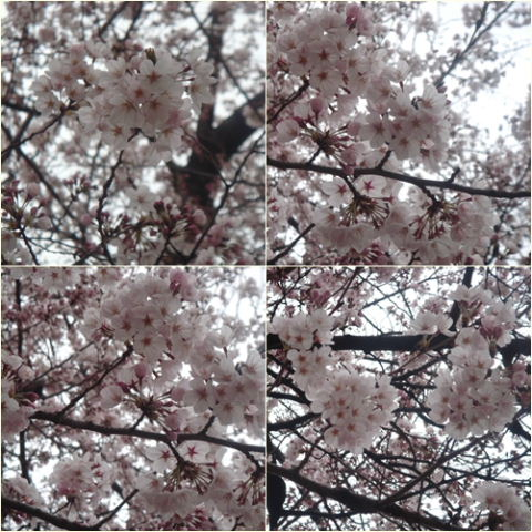 100329sakura.jpg