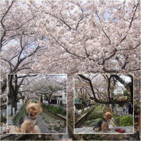 100410nomigawasakura2.jpg