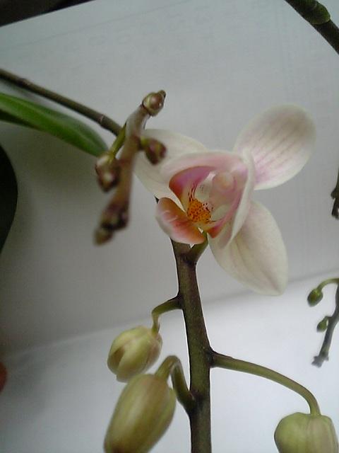 V胡蝶蘭3・9