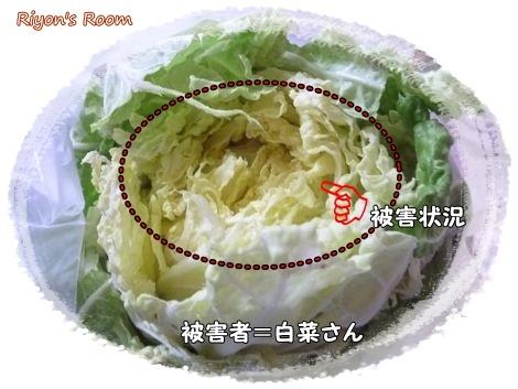 白菜泥棒③