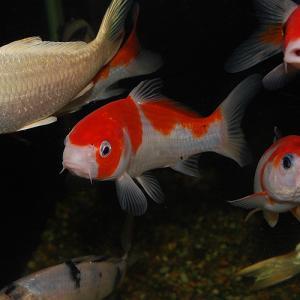 錦鯉 紅白