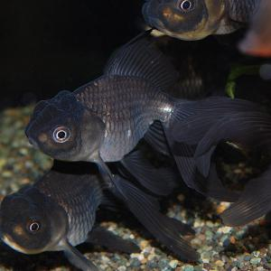 青文魚01