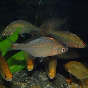 タイリクバラタナゴ